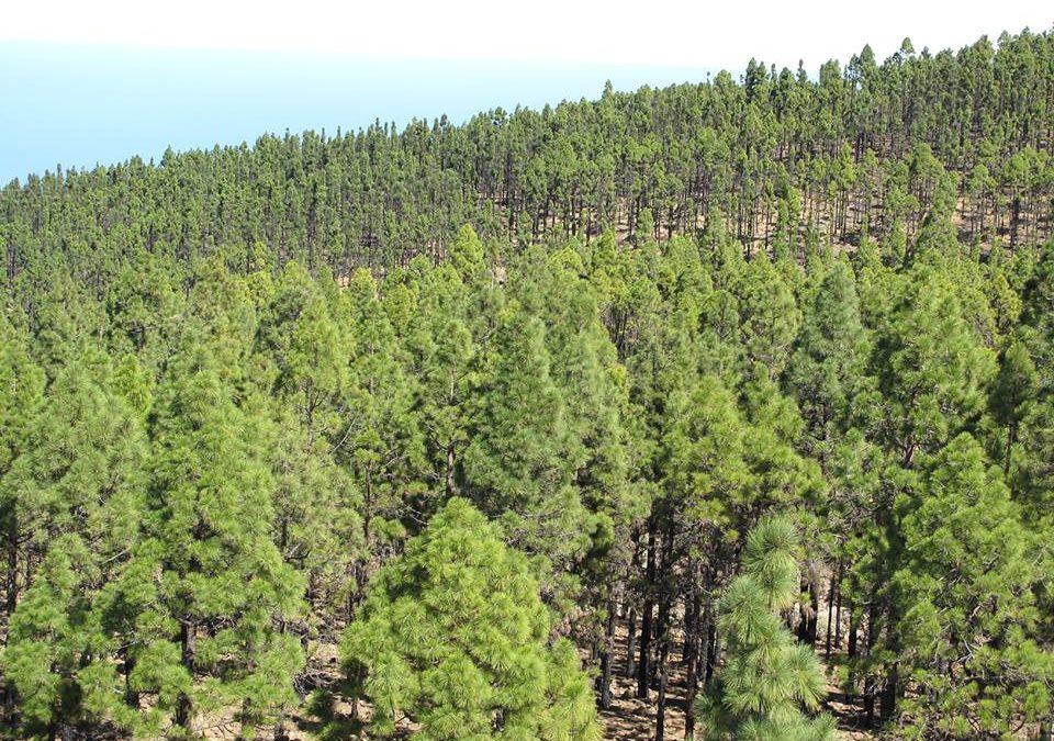 Parques Nacionales admite la solicitud de aprovechamiento vecinal de pinocha y leña de 70 vecinos de Los Realejos