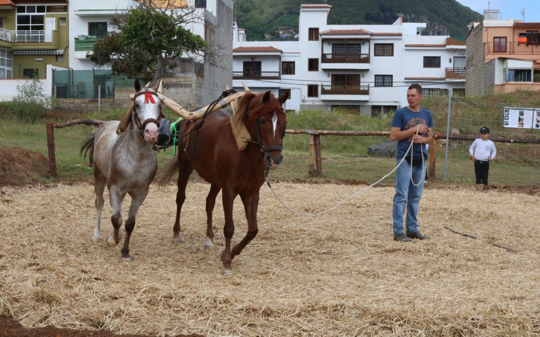 Los Realejos celebra este sábado su Feria de Ganado acompañada de gastronomía local