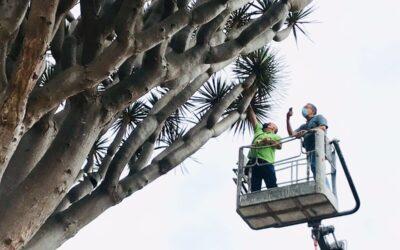 Los Realejos realiza la primera inspección aérea de los dragos gemelos y de San Francisco