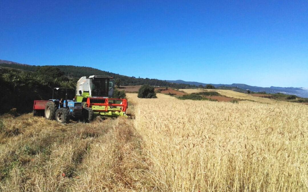 Los Realejos subvenciona con 5.000 euros a ACETE para la recolección del cereal entre productores del municipio